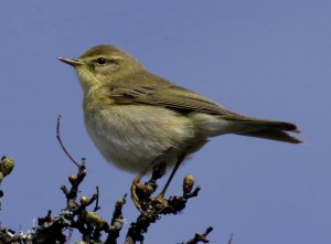 Willow Warbler also called Willow Wren, from Aviceda wiki commons